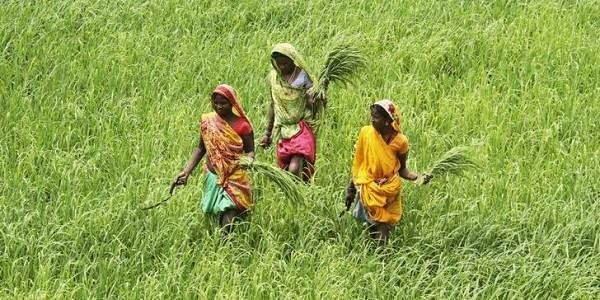Labourers work in a paddy field at Thaska village. (File photo | Reuters)