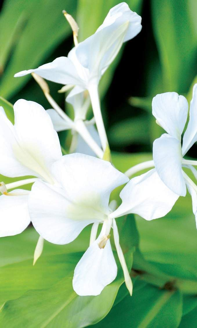 c905bbd83 Fragrant and lovely, butterfly lily is perfect for your garden- The ...