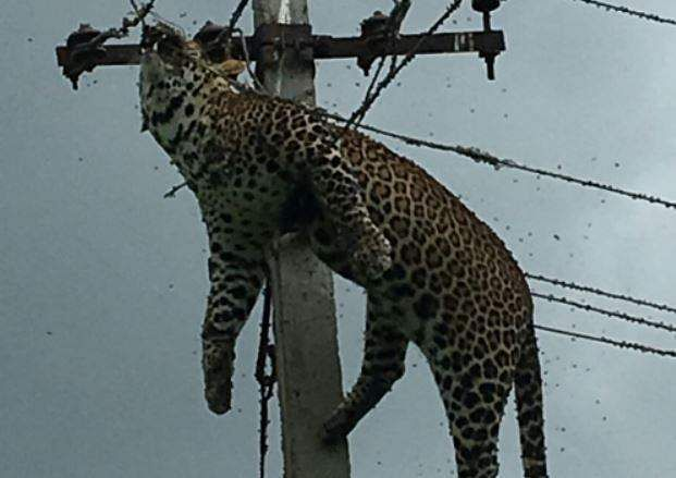 Leopard eletrocuted at top of 12-foot electric pole