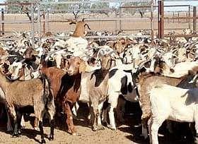 cattle, animal, goat, livestock