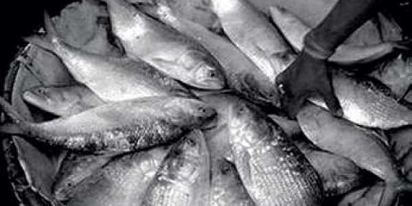 Bangladesh, which produces nearly 75 per cent of the world's hilsa, banned its export on August 2012 to conserve it.