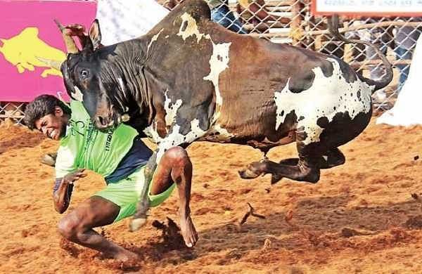 A bull tamer trying to save himself from the charging animal during the Palamedu Jallikattu on Monday | K K sundar