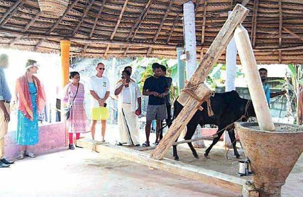 Foreign tourists witnessing coconut oil being extracted in the traditional way using cattle  at the 'Kera Park' | EXPRESS