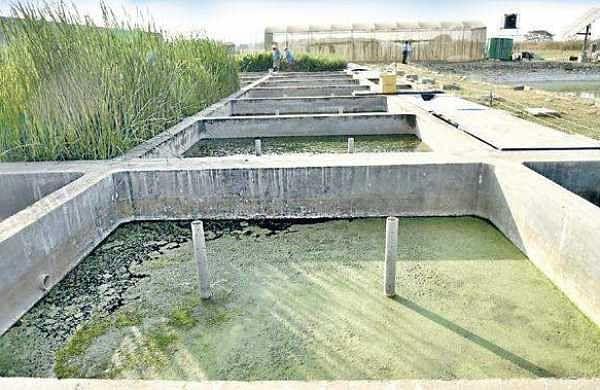 The constructed wetland at Icrisat | Vinay Madapu
