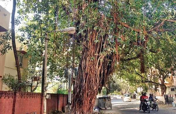 The banyan tree escaped the axe after intervention by the residents of Indira Nagar in the city | d sampath kumar