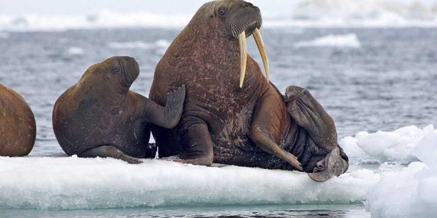 This June 12, 2010, photo provided by the United States Geological Survey shows Pacific walruses resting on an ice flow in the Chukchi Sea, Alaska. (Photo | AP)