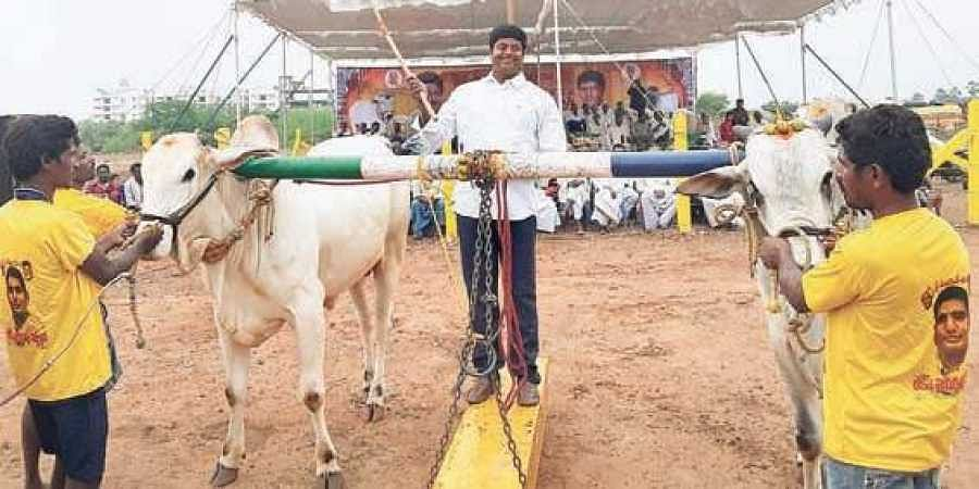 ongole bulls cynosure of all eyes at dasara festivities the new