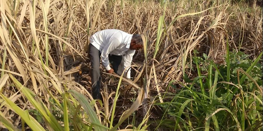 Cyclone Gaja razes Sugarcane crops, scarcity during Pongal
