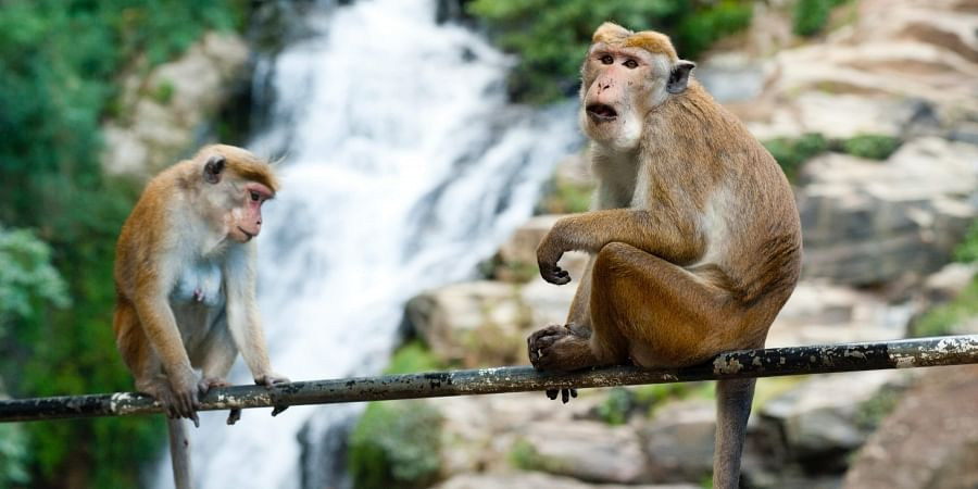 Monkeys throwing bricks kill Indian villager
