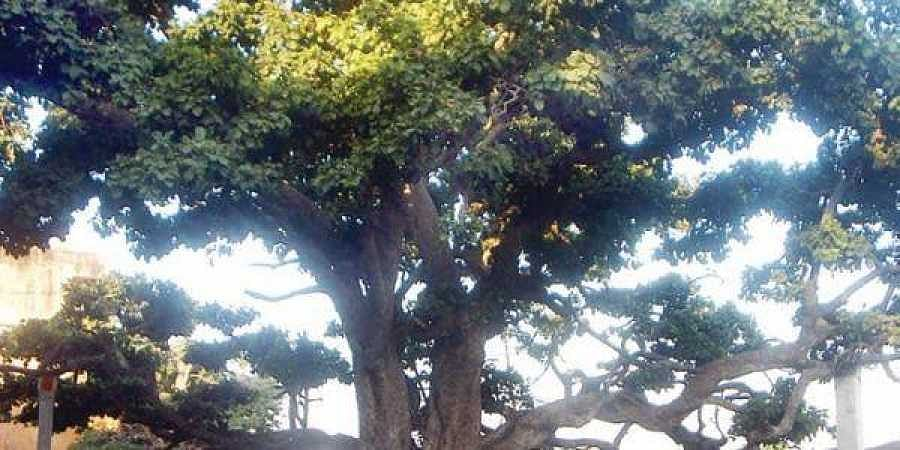 Govt asked to enact law to protect trees- The New Indian Express