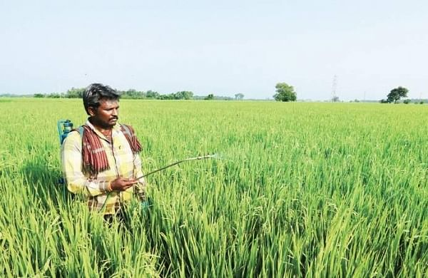 Representational image of Herbicides being sprayed in a paddy field