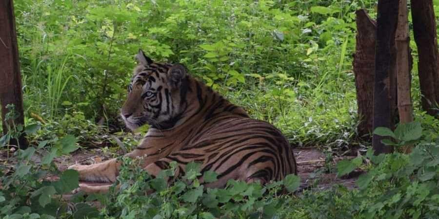 Tigress Sundari