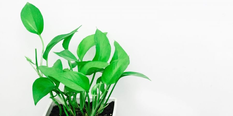 This super house plant scrubs pollutants from your home