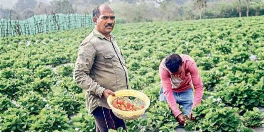 Strawberry fields in Visakha agency beckon tourists- The New Indian Express  Kashmir of Andhra Pradesh- Lambasingi STRAWBERRY
