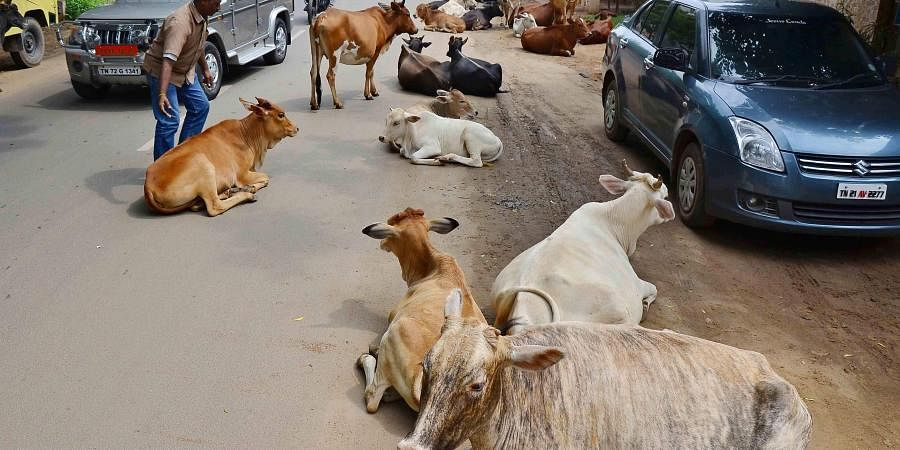 stray cows, cow shelters