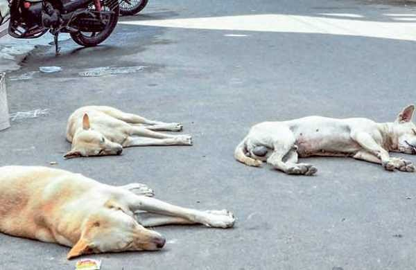 There are more than 16,000 street dogs in Vijayawada, of which only 7,000 have been sterilised. (EPS)
