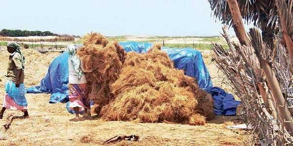 Heady Vetiver gradually greening up Cuddalore's coast
