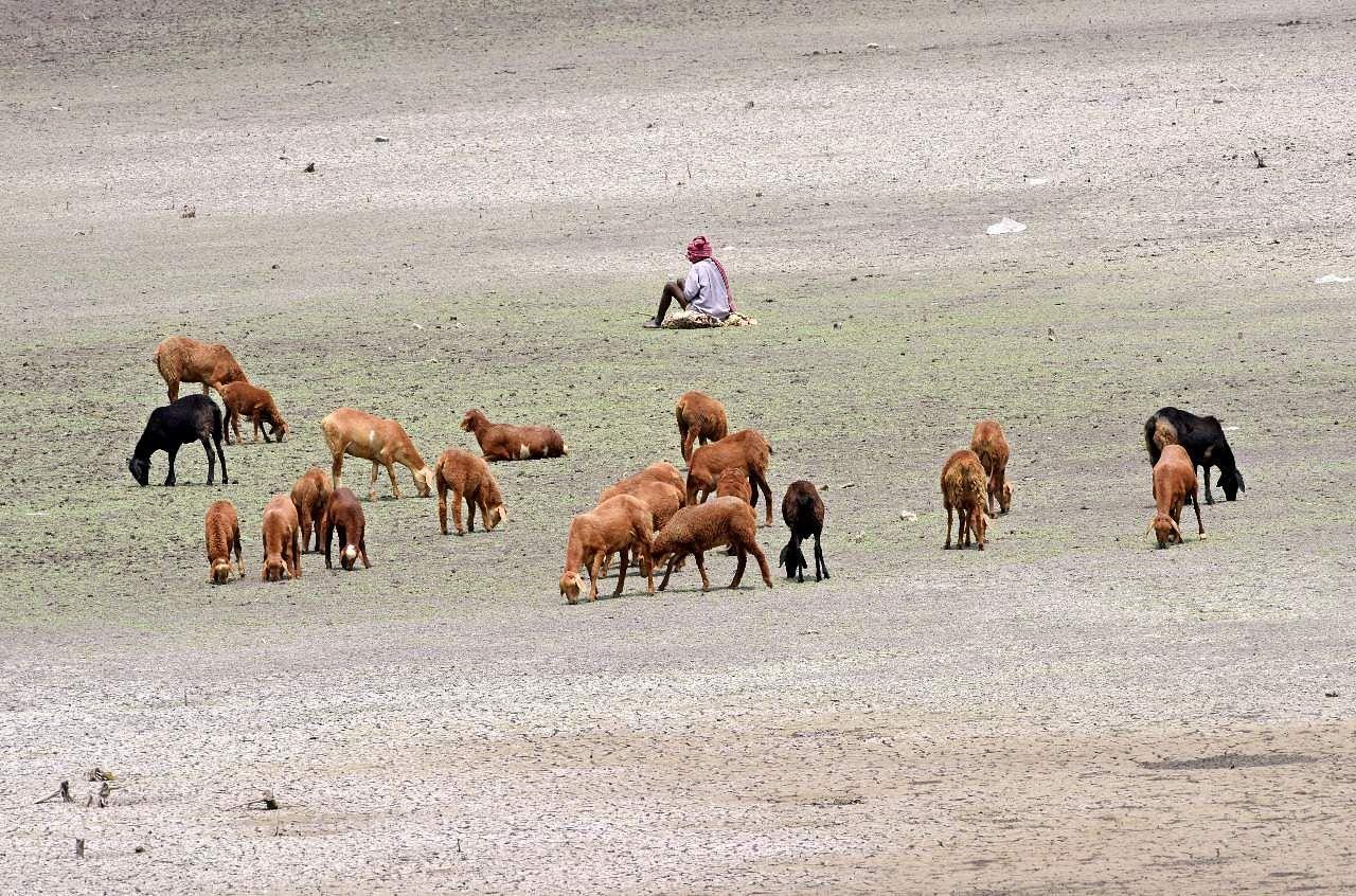 HYDERABAD: Animals graze on the remains of the dried up Masab Cheruvu at Turkayamjal on the Nagarjuna Sagar Highway | Vinay Madapu