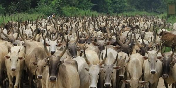 Cattle smuggling