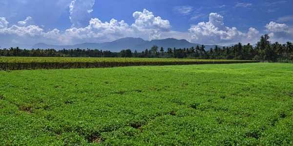THE PAST ONE WEEK SUMMER RAIN  RISES A GOOD HOPE FOR THE FARMERS , A FARM LAND NEAR MADHAMPATTI AT OUTSKIRTS OF COIMBATORE TURN INTO A LUSH GREEN. AS THE RAINY CLOUDS GETS GATHERING IN THE SKY. EXPRESS/A.RAJA CHIDAMBARAM.