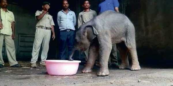 Female ♀ Asian elephant (Elephas maximus) unknown (orphan) at Angul Animal Husbandry Department