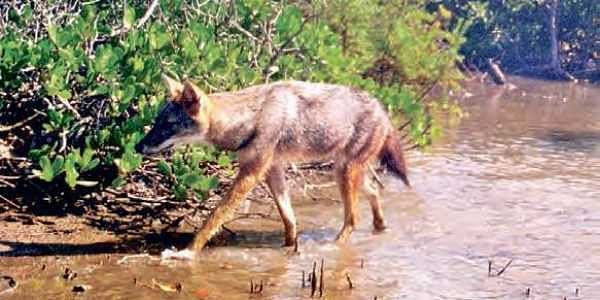Andhra Pradesh: Golden Jackal spotted in Krishna sanctuary