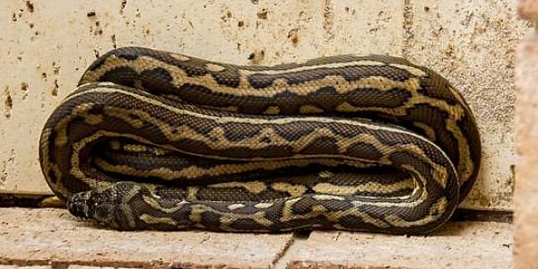 Indonesian woman swallowed by giant python- The New Indian