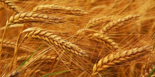wheat100936