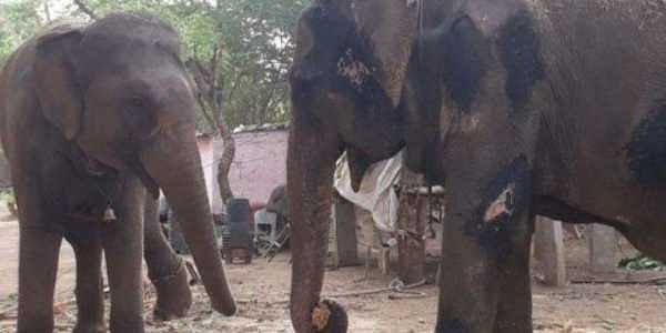 Animal rights activists claimed that Rajasthan government has failed to take any action against owner of a baby elephant for torturing her despite 350,000 people sending written complaints, Suman