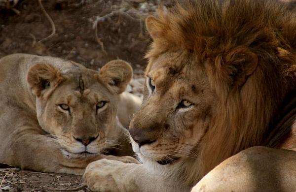 Gir lion deaths   Latest and Breaking News on Gir lion