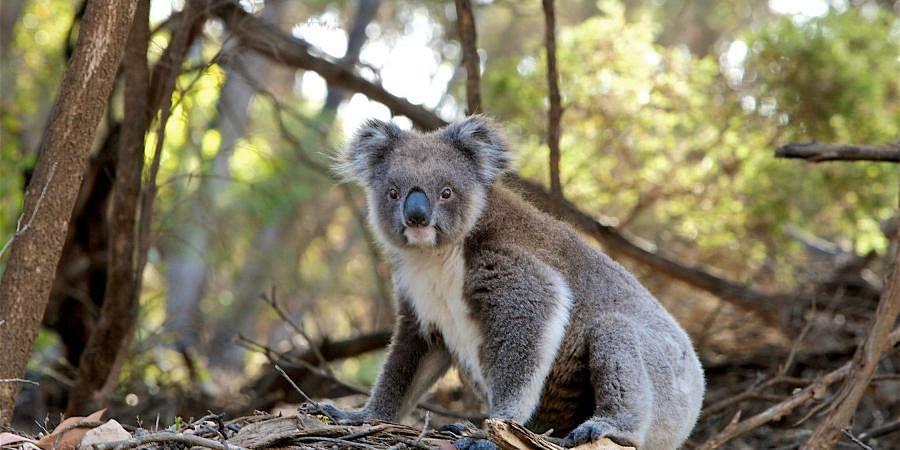 koala_bear_photo