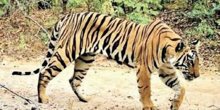 Telangana to set up armed anti-poaching tiger protection force soon