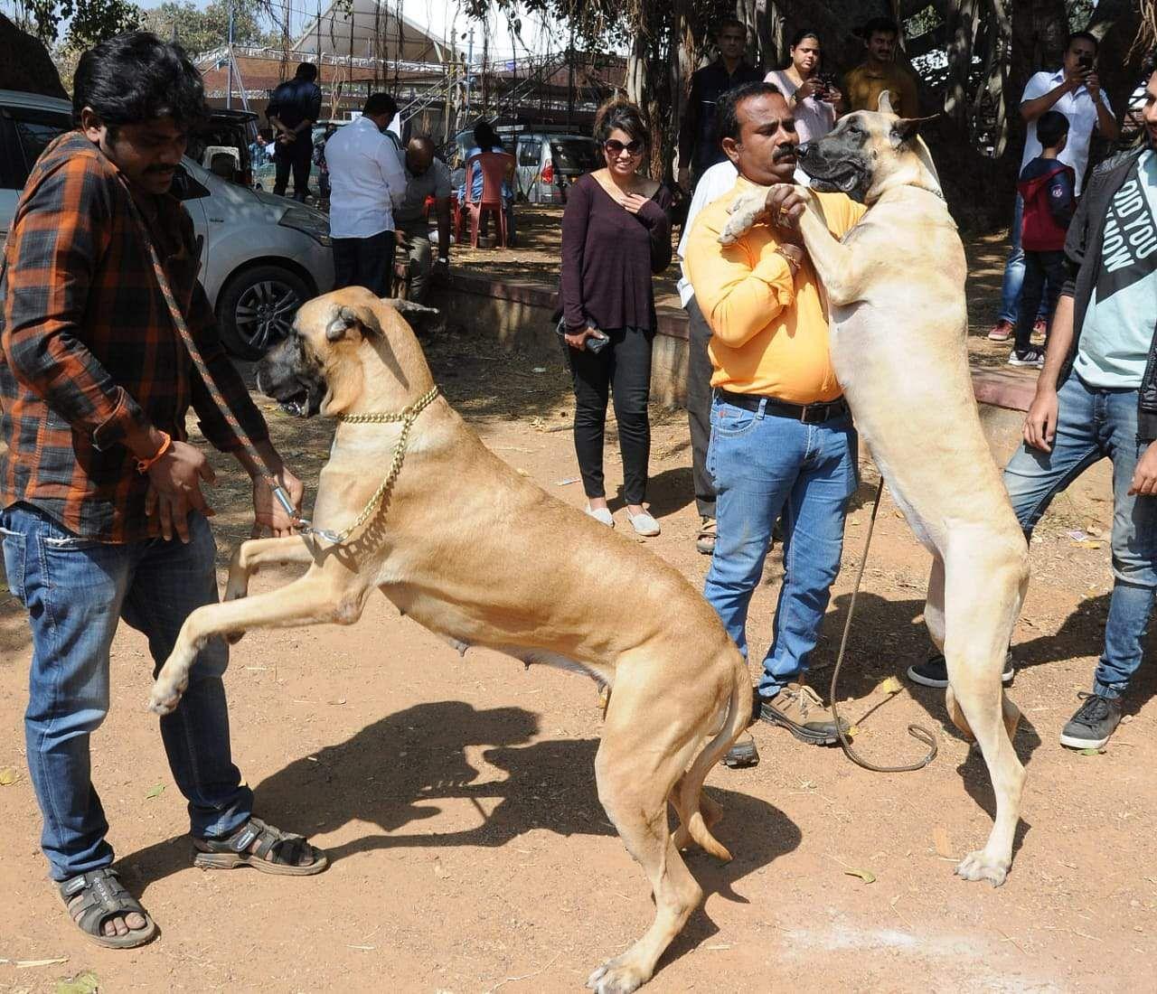 Dog, English Mastiff