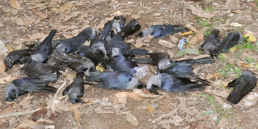 Carcasses of crows found in two places in Patna- The New Indian Express
