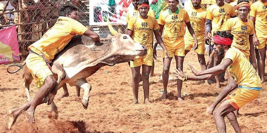 Image result for 32 Injured In Bull-Taming Sport Jallikattu In Tamil Nadu's Madurai