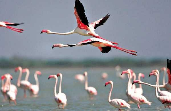 Flamingos playing in water at Pulicat lake in Nellore district on Sunday. Three-day Flamingo Festival commenced in Nellore district on Sunday   Express