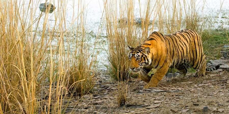 Tiger, bandipur national park