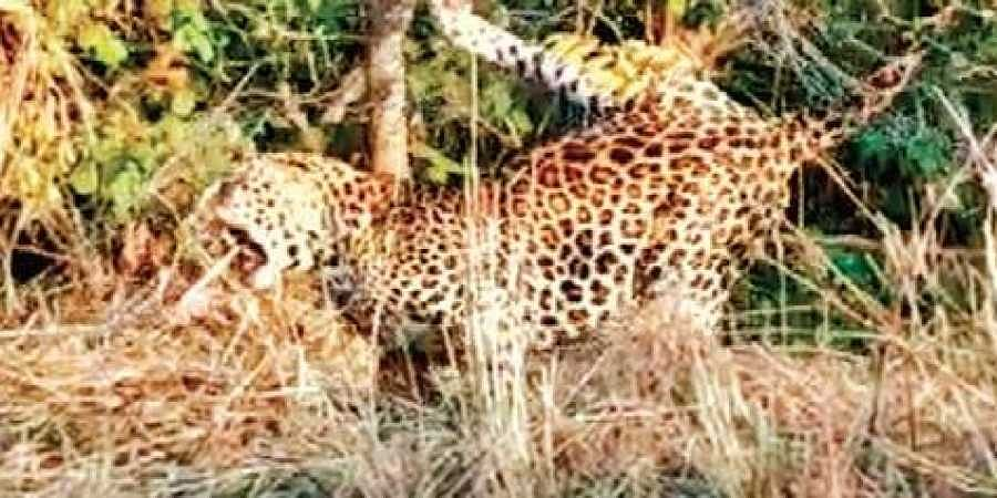 Search on for injured leopard near Nizamabad village, says