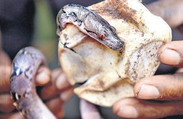 Exotic reptiles recovered from two passengers at Chennai airport