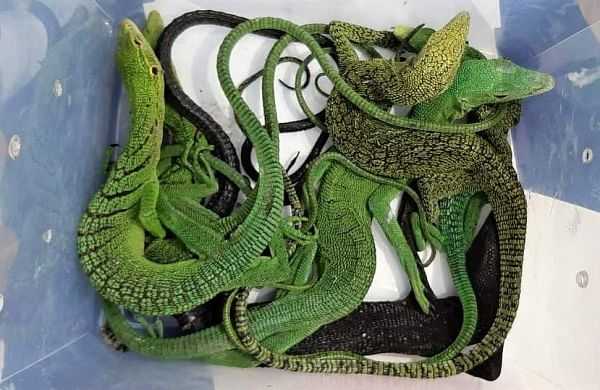 Chennai Customs officials foil bid to smuggle in juvenile pythons, lizards