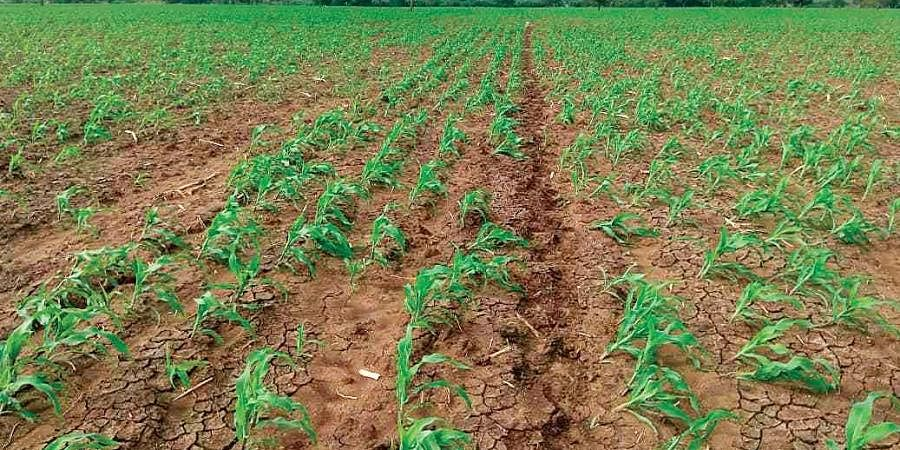Maize crops affected by Fall Armyworms. (File photo | EPS)