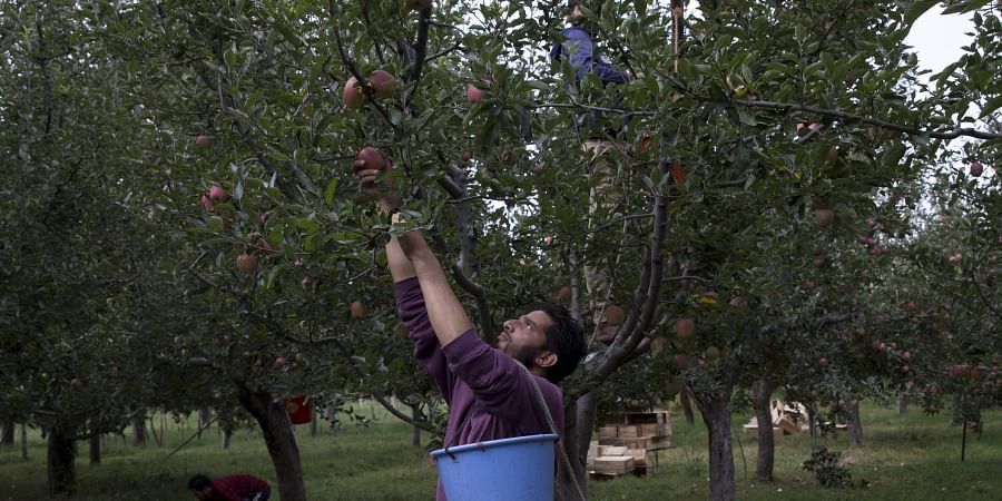Article 370: Apples rot on trees as Kashmir strife inflicts economic pain