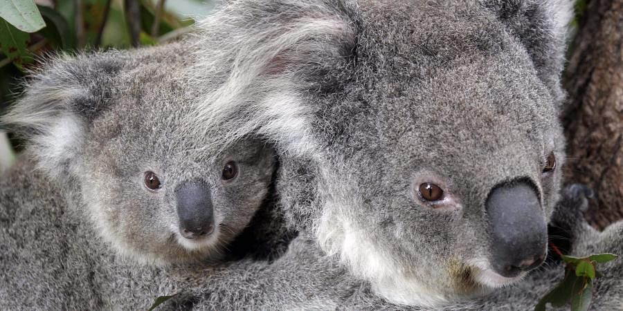 Conservationists fear hundreds of koalas have perished in wildfires that have razed prime habitat on Australia's east coast. (Photo | AP)