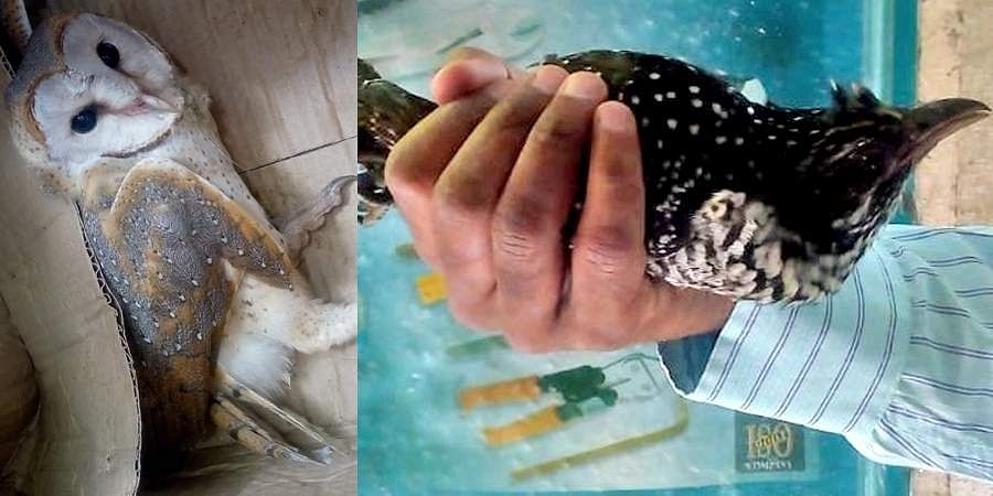 The Barn Owl which was rescued after it accidentally flew into a house and the Koel (above) that suffered burns between its wing and body during the Deepavali celebrations
