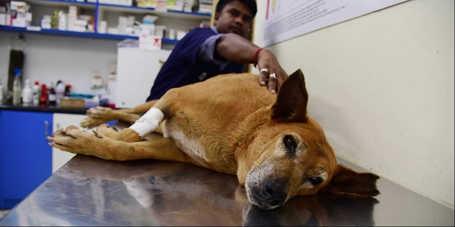 The dog undergoes treatment at a hospital on Monday