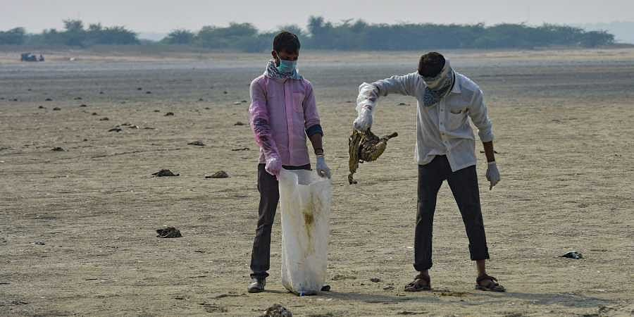 Civic workers collect dead birds at the Sambhar Salt Lake in Rajasthan Tuesday Nov. 12 2019. Thousands of birds of various species were found dead at the lake even as authorities tried to ascertain the cause of the large scale deaths.