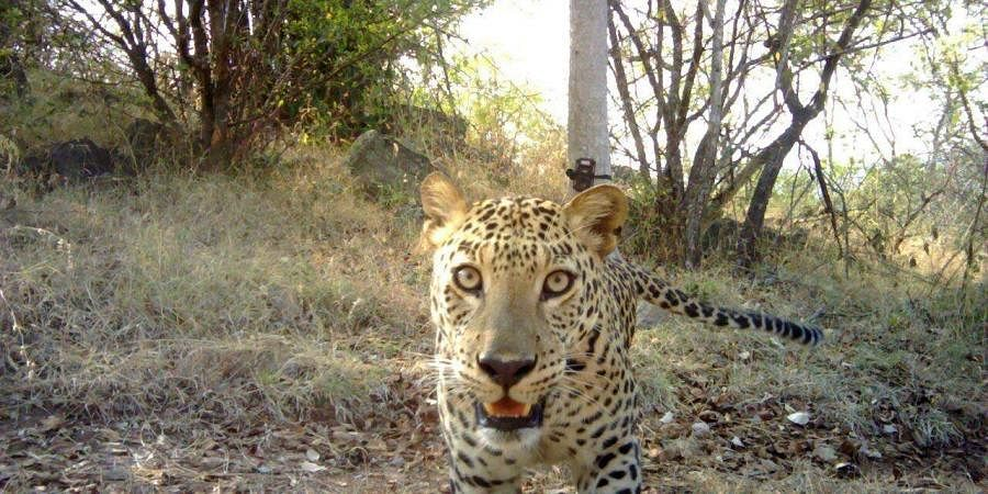 Leopard, human-animal conflict