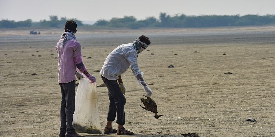 Civic workers collect dead birds at the Sambhar Salt Lake in Rajasthan Tuesday Nov. 12 2019. | (Photo | PTI)