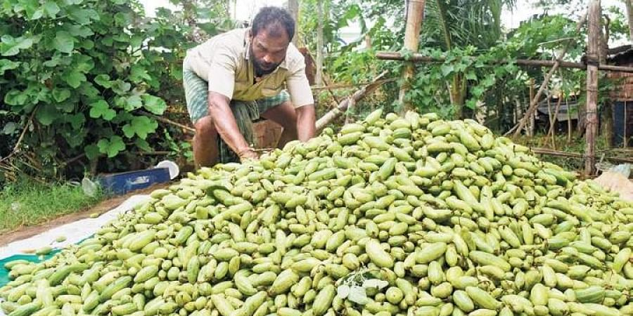 A vegetable grower with his stock of pointed gourd at Kendrapara