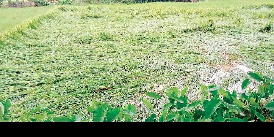Damaged crop